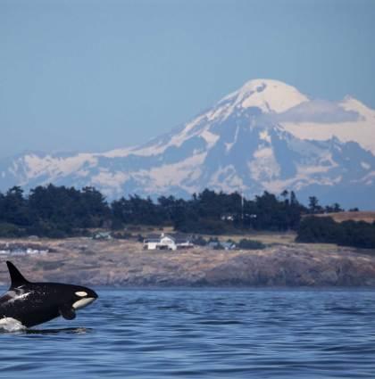 Hostile Waters: Orcas in Peril